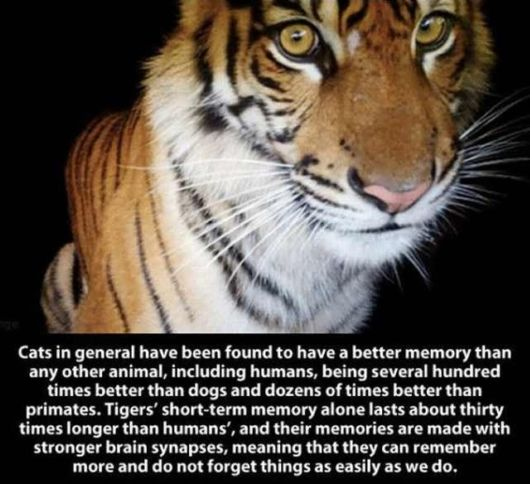 Amazing Facts About The Powerful Tiger