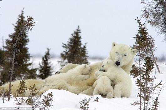 Cute Polar Bear Cubs And Mom