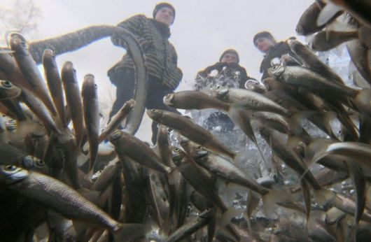 Russian Fishs Fight For Oxygen