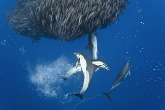 Incredible Photos Of Sharks And Dolphins Preying On Mackerel