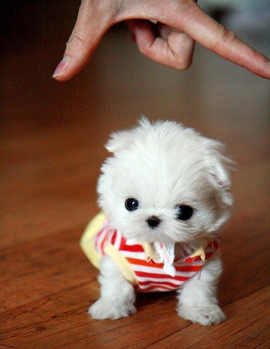 The 30 Tiniest And Cutest Puppies In The World Funzugcom